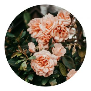 Parfum Rose de joie