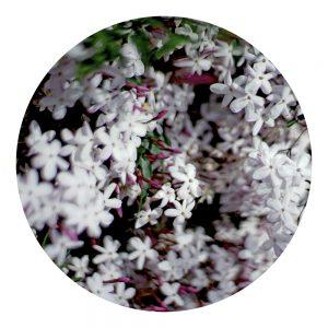 Parfum Bois de jasmin