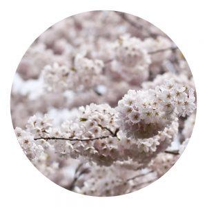 Parfum Cerisier Doux